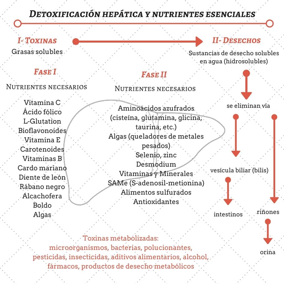 fases de la detox hepática