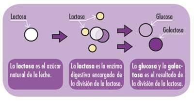 Ruta metabólica de la lactasa